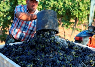 Adega Do Cantor - Grapes picked by hand